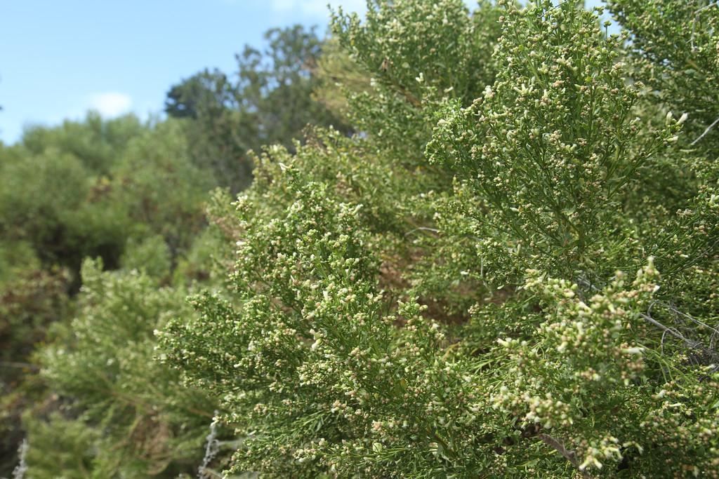 Coyote Bush, Baccharis pilularis, male flowers.