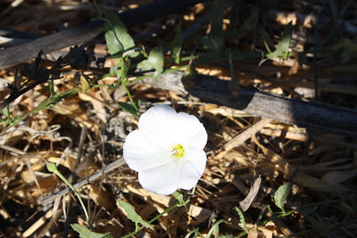 Bindweed, Convovulus arvensis, not native