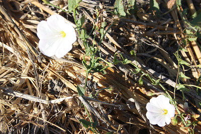 Bindweed, Convolvulus arvensis, not native