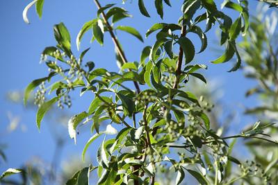 Blue Elderberry, Sambucus nigre L. ssp. Caerulea