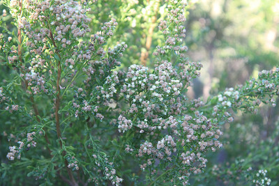 Coyote Bush, Baccharis pilularis, male flowers.