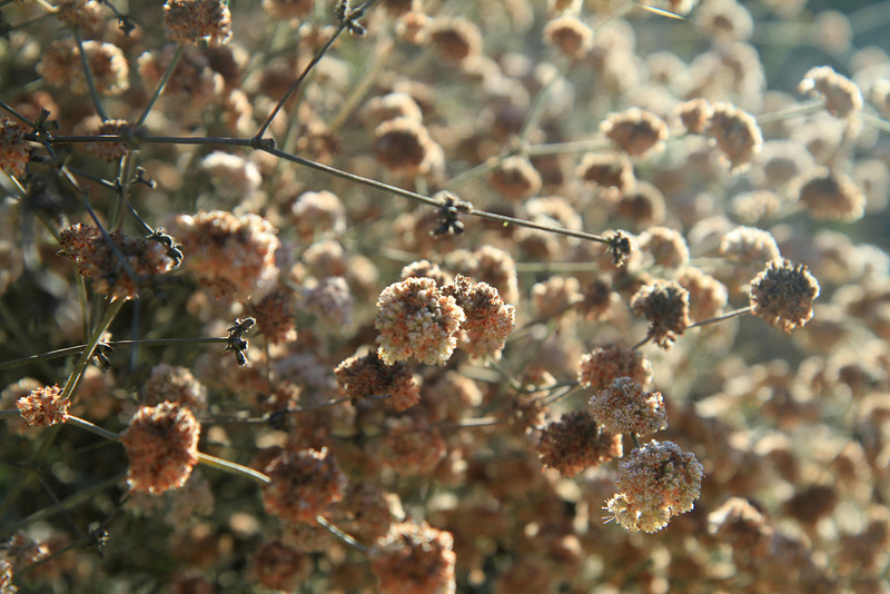 Ashyleaf Buckwheat, Eriogonum cinereum