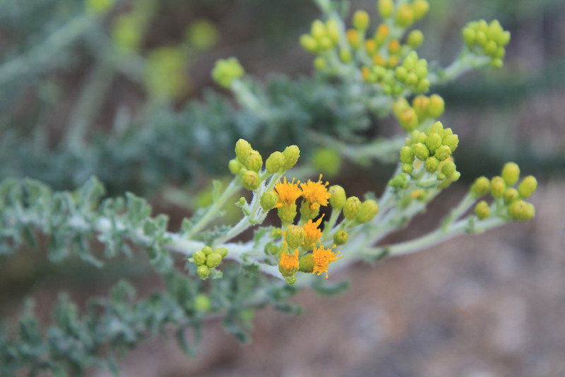 Coastal Goldenbush, Isocoma menziesii