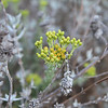 Coastal Goldenbush, Isocoma menziesii and Purple Sage, Salvia leucophylla