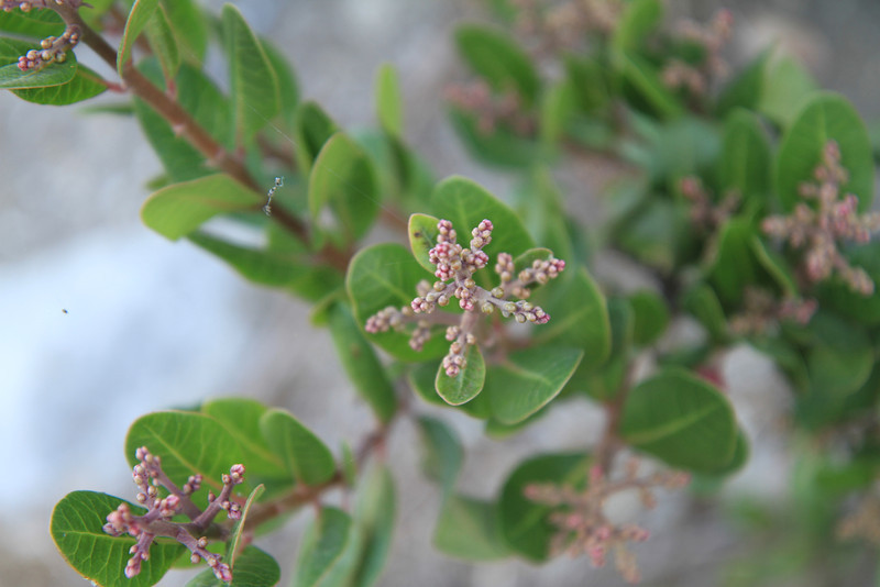 Lemonadeberry, Rhus integrifolia