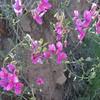 Chaparral Pea (Pickeringia montana)