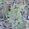 Cotton Fern (Cheilanthes newberryi)