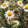 Ragweed (Ambrosia psilostachya)