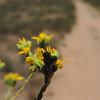 California Sycamore (Plantus racemosa)