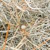 White Rhatany (Krameria bicolor) KRAMERIACEAE