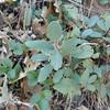 California Coffeeberry (Frangula californica) RHAMNACEAE