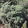 Coastal Sagebrush (Artemisia californica)