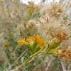 Alkali Goldenbush (Isocoma acradenia)