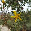 Creosote Bush (Larrea tridentata)