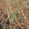 Boxthorn (Lycium sp.)