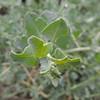 Big Saltbush (Atriplex lentiformis)