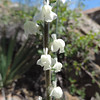 Coulter's Snapdragon (Antirrhinum coulterianum)