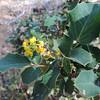 California Barberry (Berberis aquifolium)