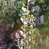Virginia Pepperweed (Lepidium virginicum) BRASSICACEAE