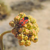 Small Milkweed Bug (Lygaeus sp.)