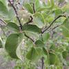 California Snowdrop Bush (Styrax redivivus)
