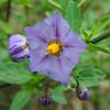 Parish's Nightshade (Solanum parishii)