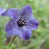Fiestaflower (Pholistoma auritum)