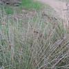 Spiny Rush (Juncus acutus)