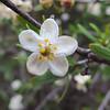 Bushrue (Cneoridium dumosum)