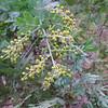 Silver Wattle (Acacia dealbata)