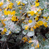 Silver-Leaf Lotus (Acmispon argophyllus var. argophyllus) FABACEAE