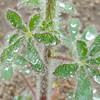 Stinging Lupine (Lupinus hirsutissimus) FABACEAE