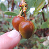 Big-berried Manzanita (Arctostaphylos glauca)