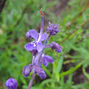 Woolly Bluecurls (Trichostema lanatum) LAMIACEAE