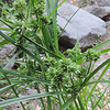Umbrella Sedge (Cyperus squarrosus)
