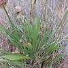 Common Plantain (Plantago major)