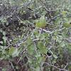 Desert Apricot (Prunus fremontii)