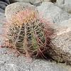 California Barrel Cactus (Ferocactus cylindraceus)
