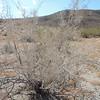 Fremont Indigobush (Psorothamnus fremontii)