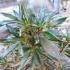 Shiny-leaf Yerba Santa  (Eriodictyon trichocalyx) BORAGINACEAE