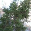 California Juniper (Juniperus californica)