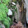 Maidenhair Fern (Adiantum capillus)