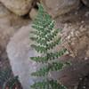 Coville's Lipfern (Cheilanthes covillei)