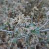 California Brickellbush (Brickellia californica) ASTERACEAE