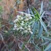 Mule-fat (Baccharis salicifolia)