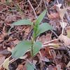 Stream Orchid (Epipactis gigantea)
