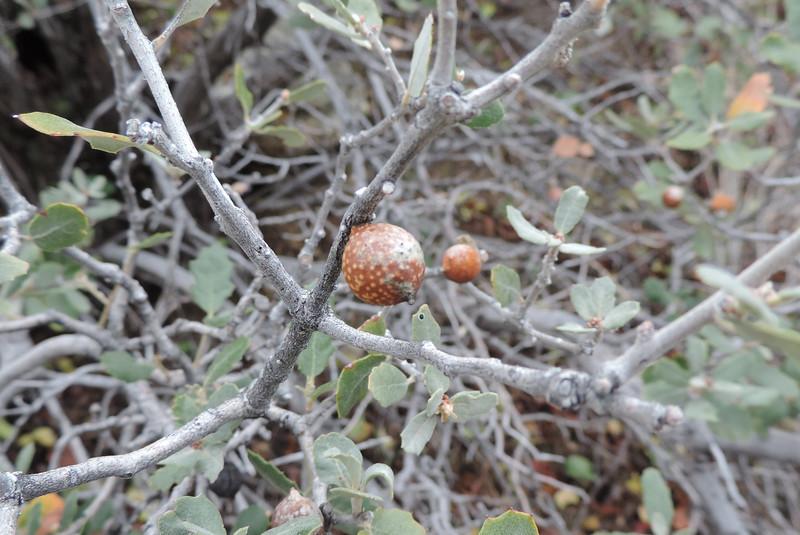 Gall in Scrub Oak