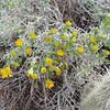 Interior Golden Bush (Ericameria linearifolia)