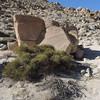 Desert Tea (Ephedra californica)