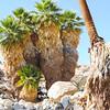 California Fan Palm  (Washingtonia filifera) ARECACEAE